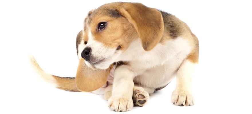 itchy dog