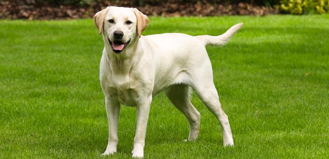 labrador retriever police dog