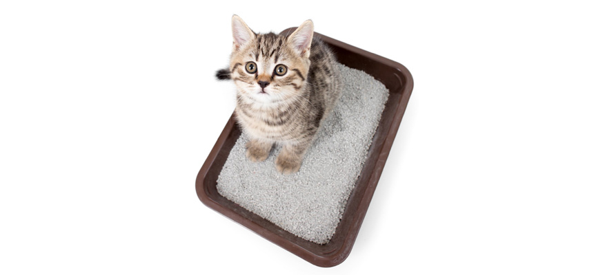litter train the cat