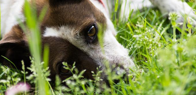 Moist Dermatitia in Dogs