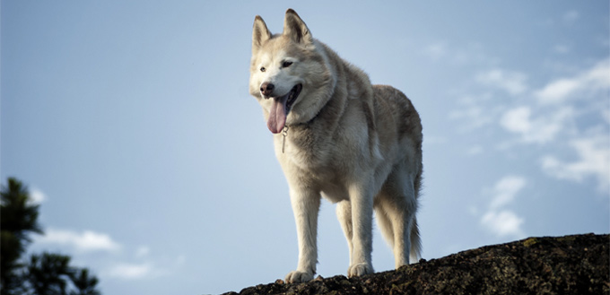 6 Dog Breeds That Are Similar To Wolves