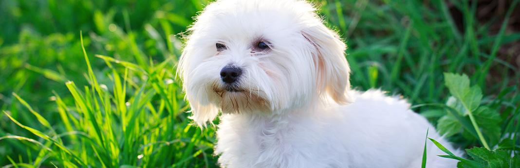 top-10-hypoallergenic-dogs