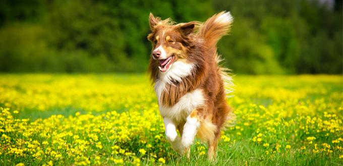 turmeric in dogs