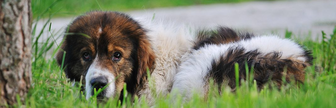 what is distemper in dogs