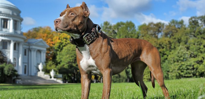 What is the American Pitbull Terrier Temperament