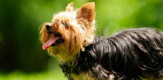 Yorkshire Terrier: Breed Facts and Temperament