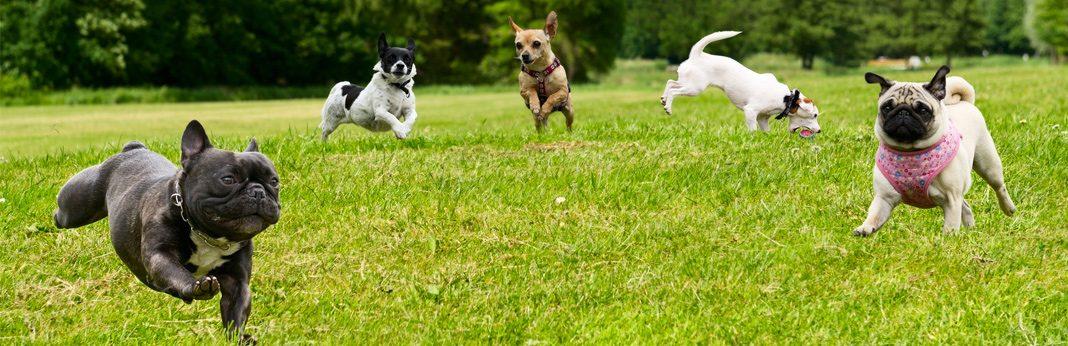 10 calm small dog breeds