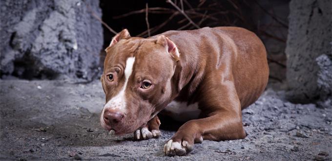 american pit bull terrier brindle