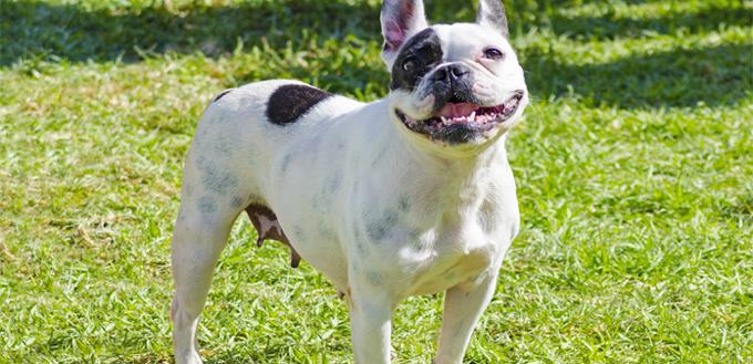 boston terrier bringle