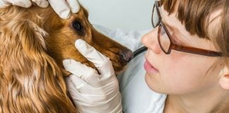cherry eye in dogs causes, symptoms and treatment