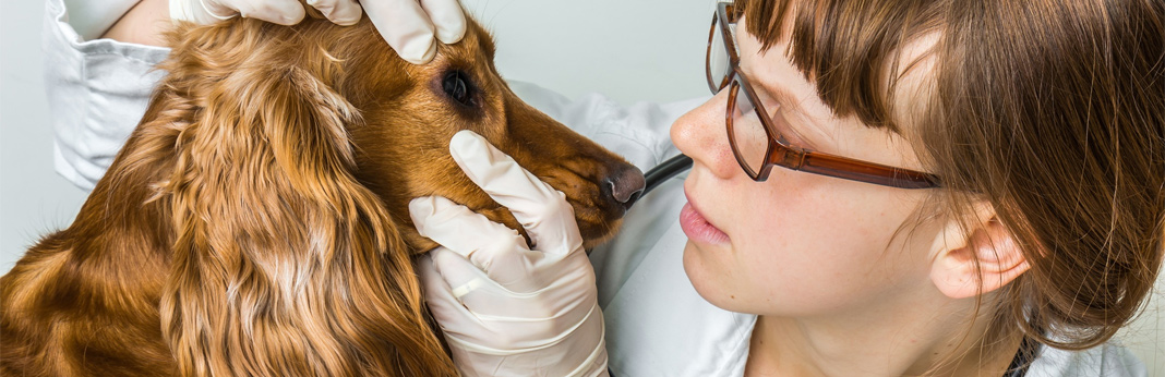 cherry-eye-in-dogs-causes,-symptoms-and-treatment