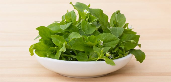 chickweed for dog allergies