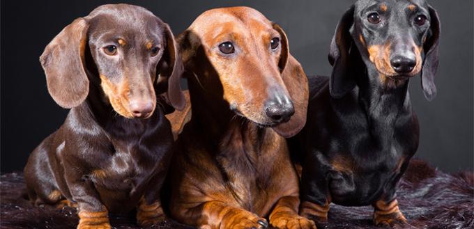 dachshund brindle