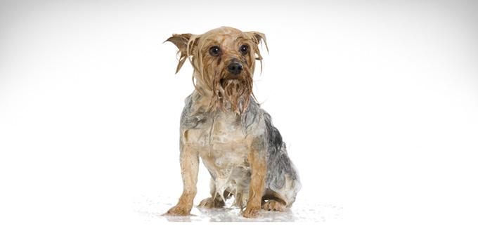 dog bath with malaseb shampoo