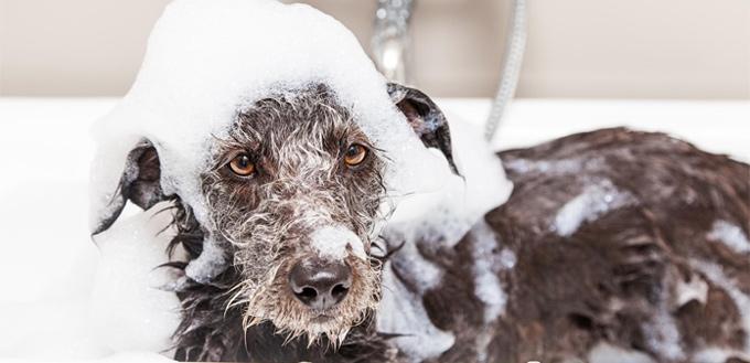 dog grooming with malaseb shampoo