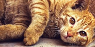 drontal for cats - uses, dosage and side effects