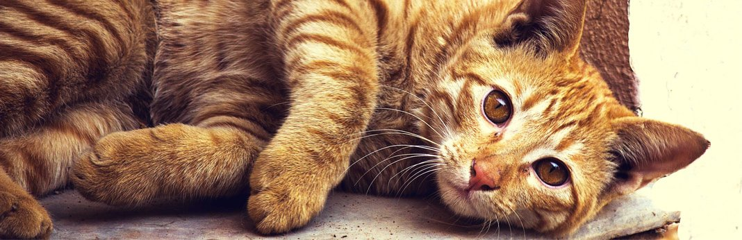 drontal-for-cats—-uses,-dosage-and-side-effects