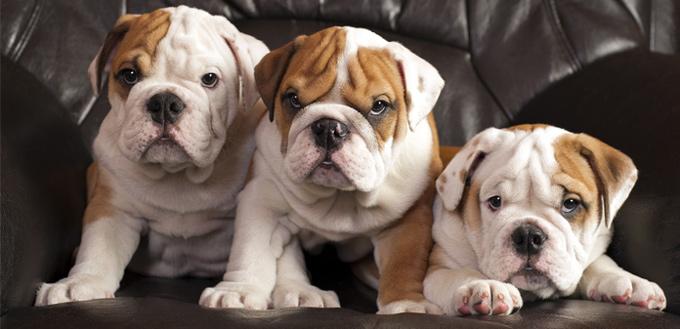 english bulldogs breed