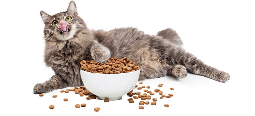 fat cat eating