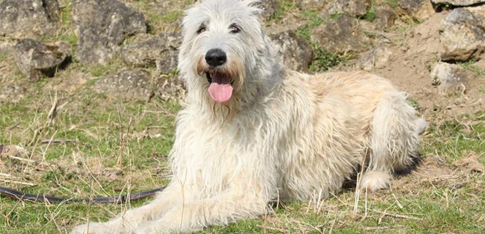 irish wolfhounds breed