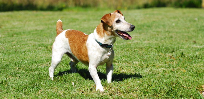 jack russel terrier for hiking