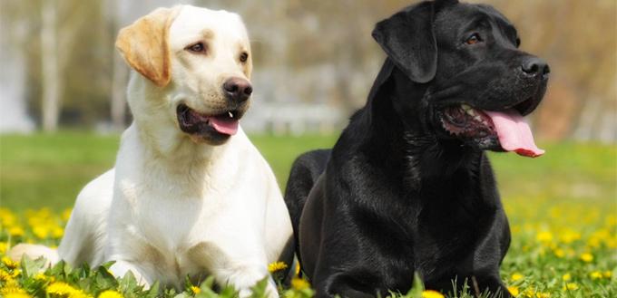 labrador retrievers breed