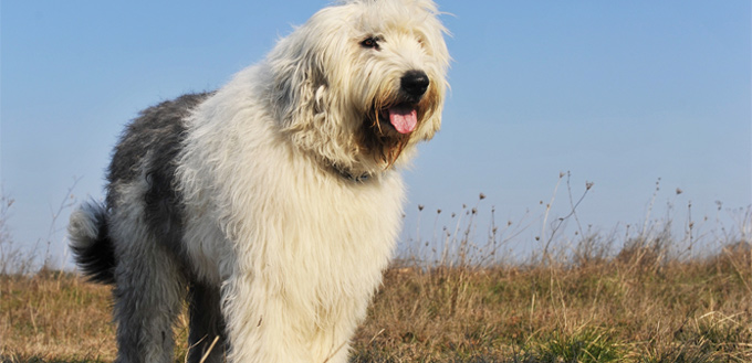 old english sheepdogs breed