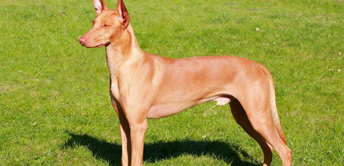 pharaoh hounds breed