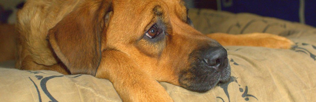 proin for dogs – uses and side effects
