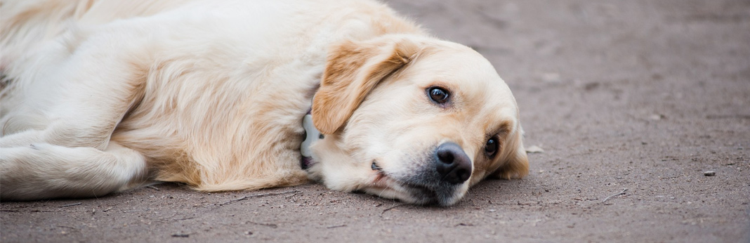 seizures-in-dogs—causes-&-treatments