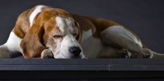 sleep walking in dogs - causes and symptoms