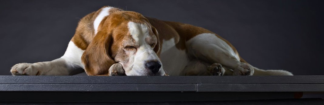 sleep-walking-in-dogs—causes-and-symptoms