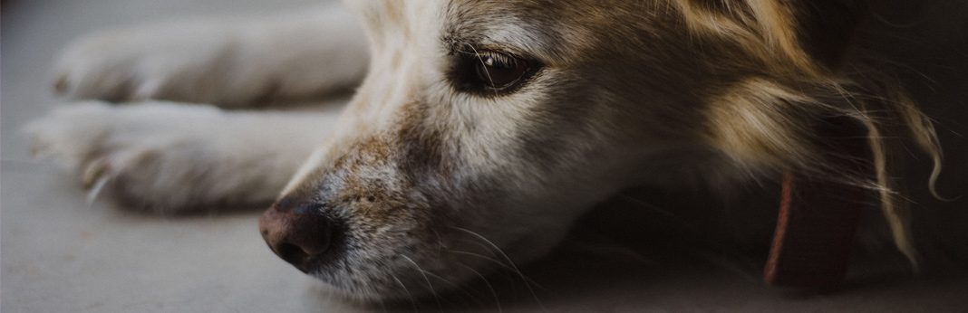 trifexis for dogs - uses & side effects