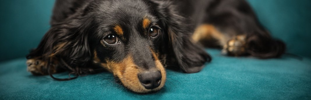 twisted-stomach-in-dogs—symptoms-and-treatment