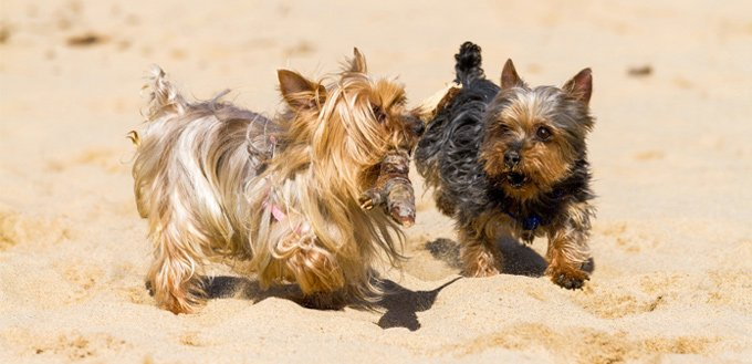 yorkshire terriers breed