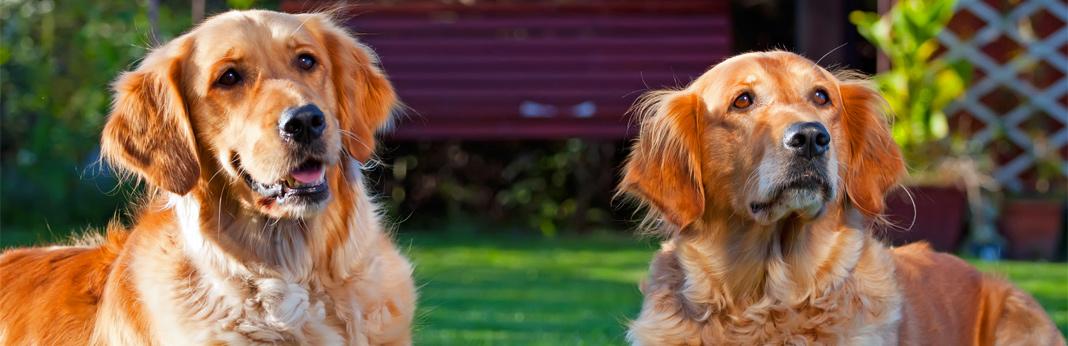 Image of: Herky Cavalier Health 10 Best Emotional Support Dog Breeds