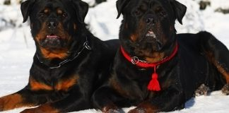 10 muscular dog breeds