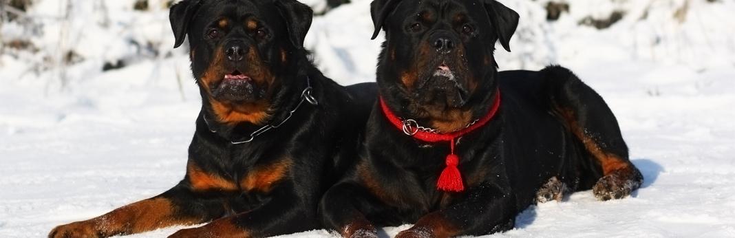10-muscular-dog-breeds