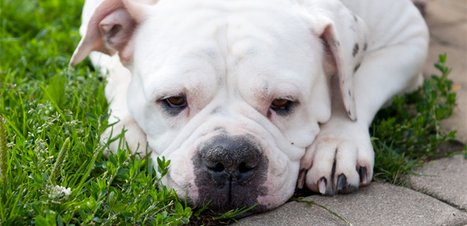 Types Of Pitbulls Learn Their Differences My Pet Needs That