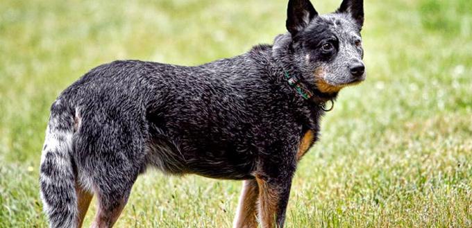 australian cattle dog mucular breed
