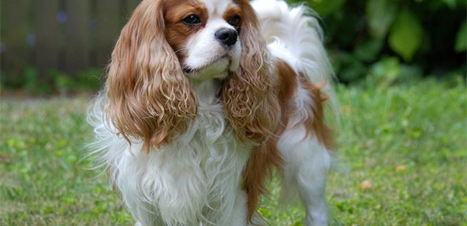 Image of: Airlines Cavalier King Charles Spaniel Emotional Support Breed Ktnvcom 10 Best Emotional Support Dog Breeds