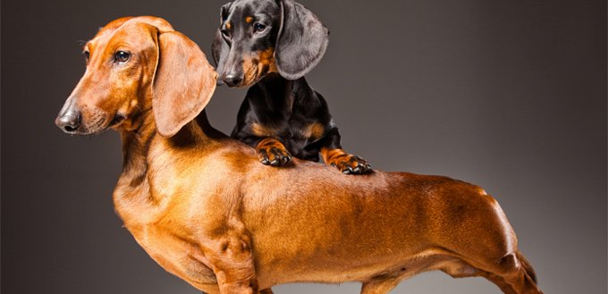 dachshund emotional support breed