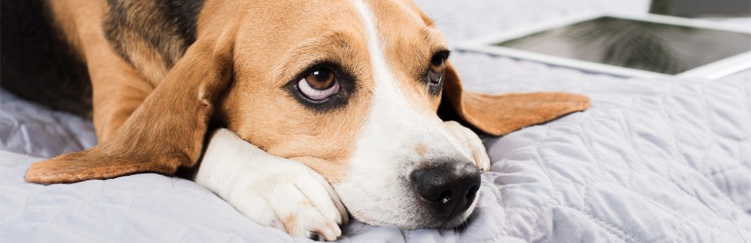 diabetes in dogs - symptoms and treatment