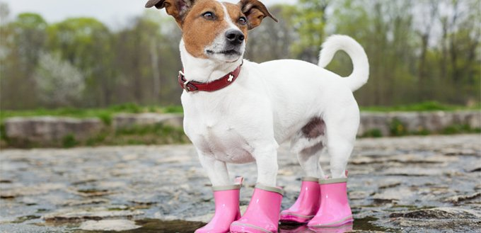 dog boots