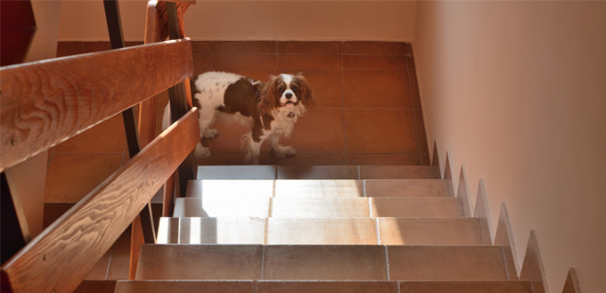 dog exercising on the stairs