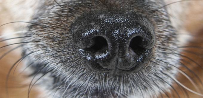 dog wet nose