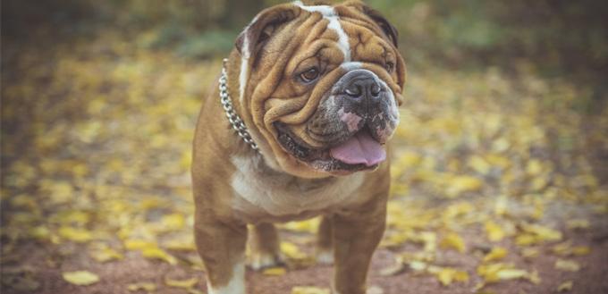 english bulldog dog