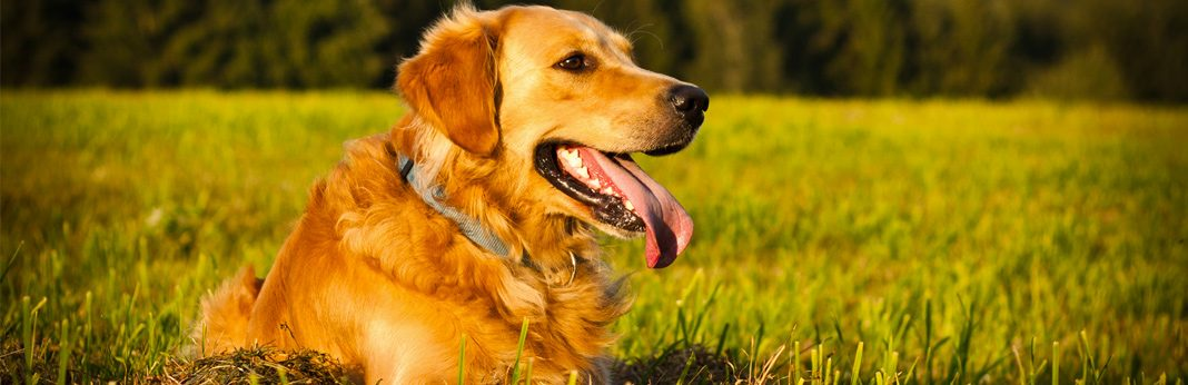 golden retriever - breed facts and temperament