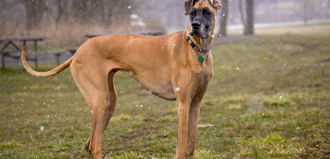 great dane breed temperament