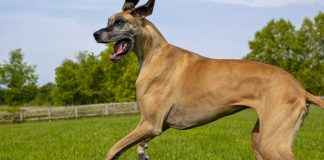 great dane - breed facts and temperament